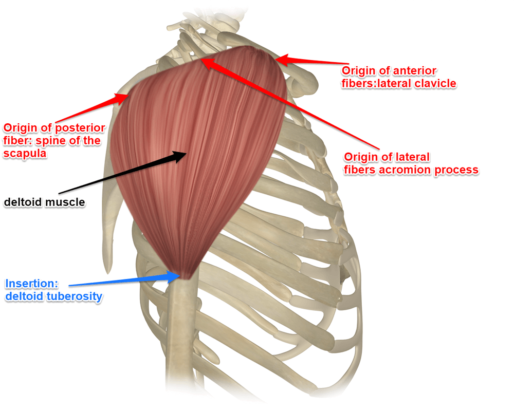 The Deltoid Muscle Get The Basic Facts About It