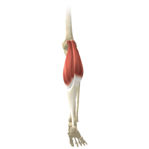 The Gastrocnemius Muscles