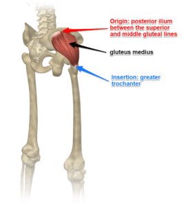The Gluteus Medius Muscle