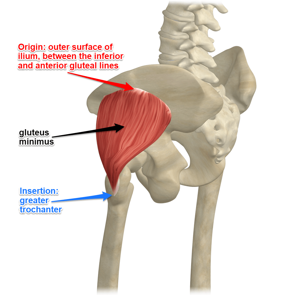 The Gluteus Minimus Muscle