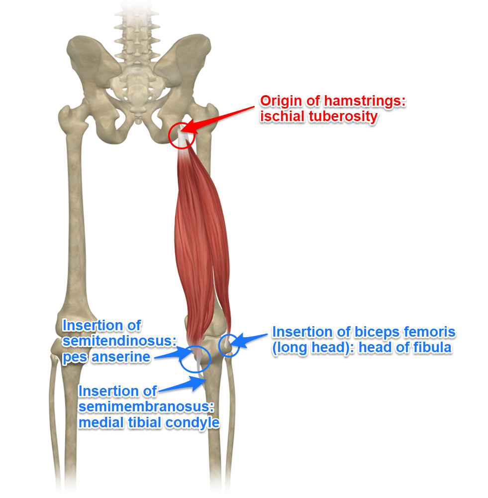 The Hamstrings Yoga Anatomy