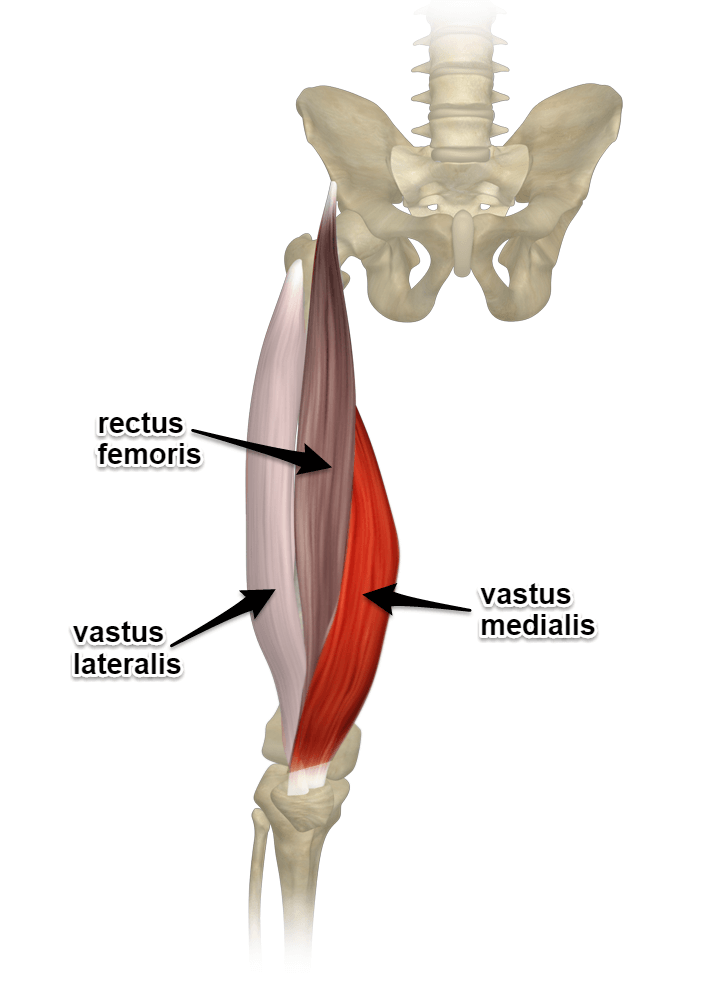 The Quadriceps Muscles - Yoganatomy