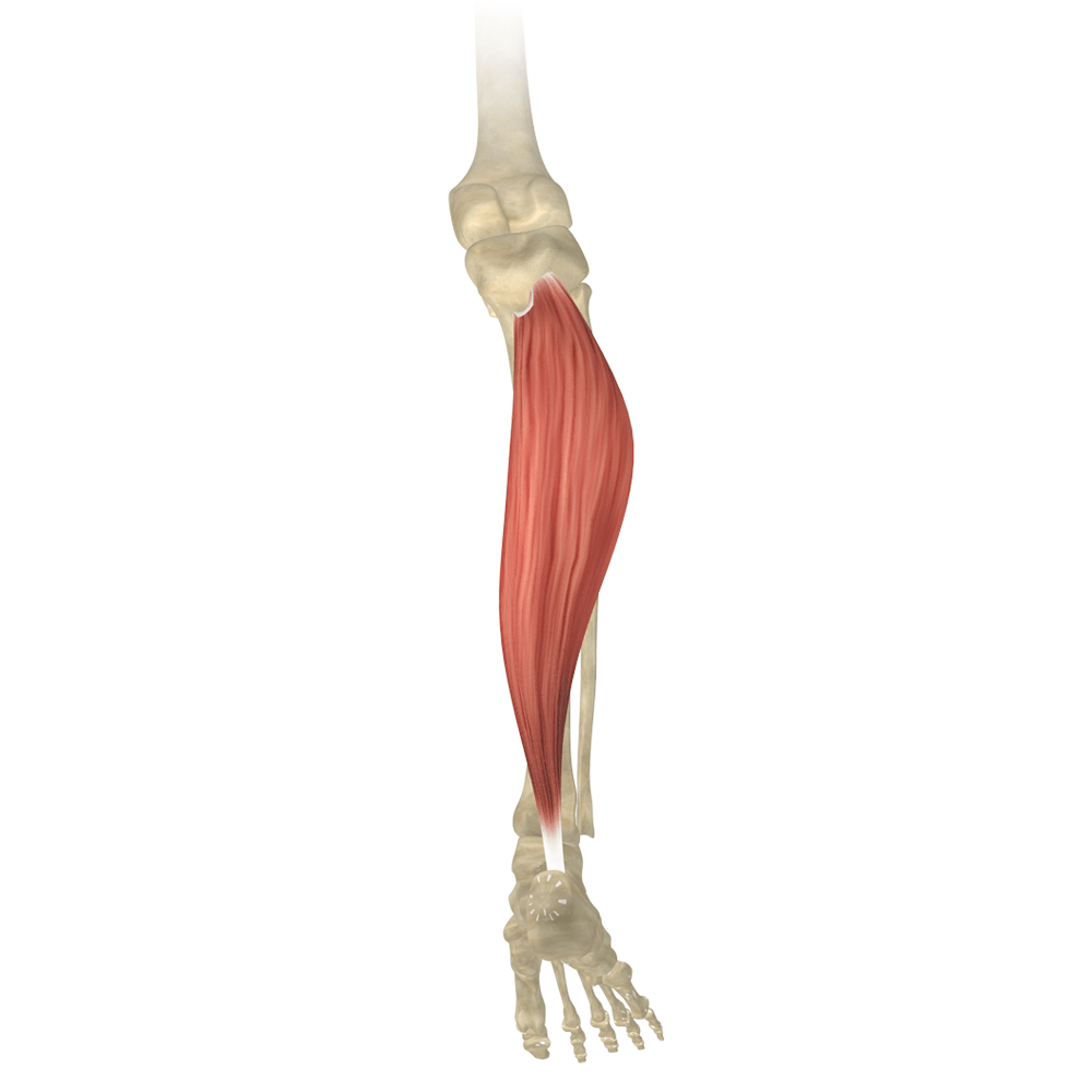Yoga Anatomy Lower Limb