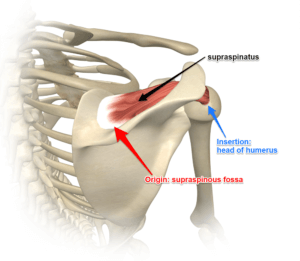 The Supraspinatus Muscle