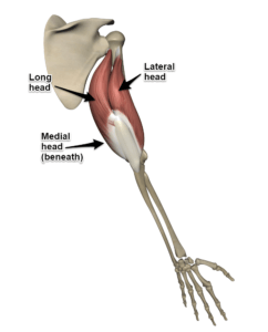 The Triceps Brachii Muscle