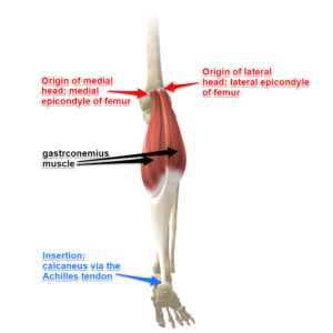 The Gastrocnemius Muscle