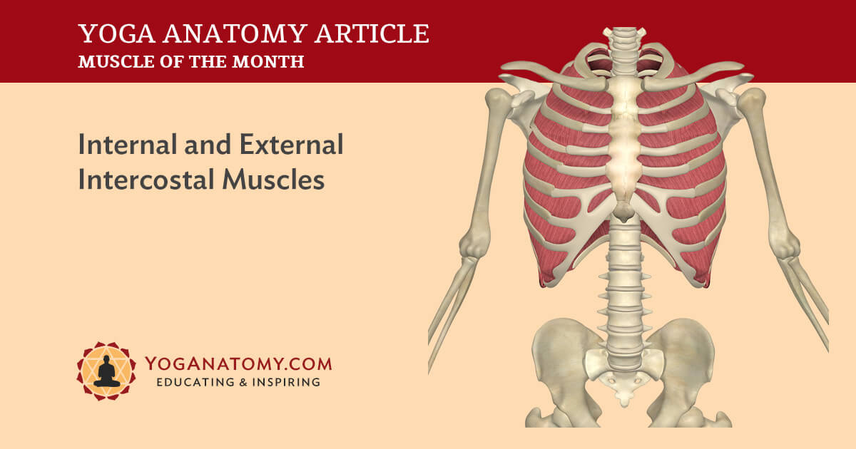 Internal and External Intercostal Muscles