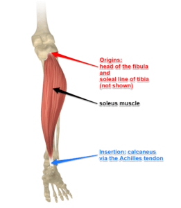The Soleus Muscles