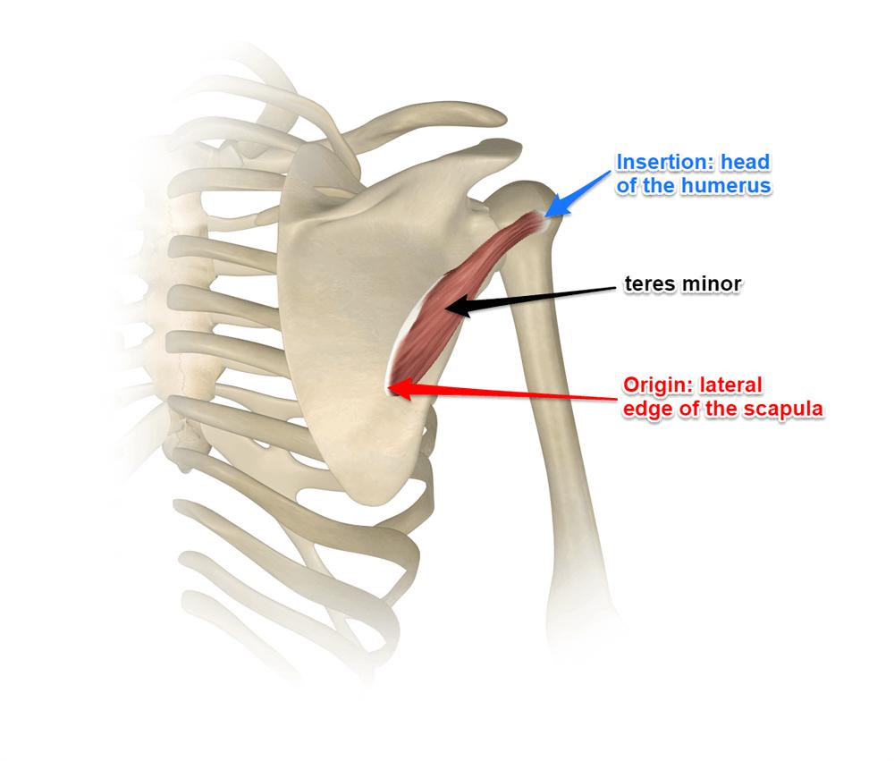 Infraspinatus & Teres Minor - Rotator Cuff - Yoga Anatomy