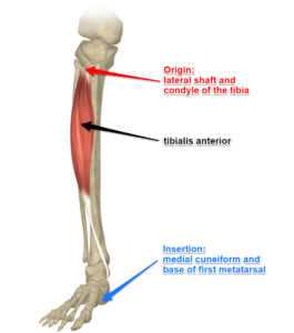 The Tibialis Anterior Muscle