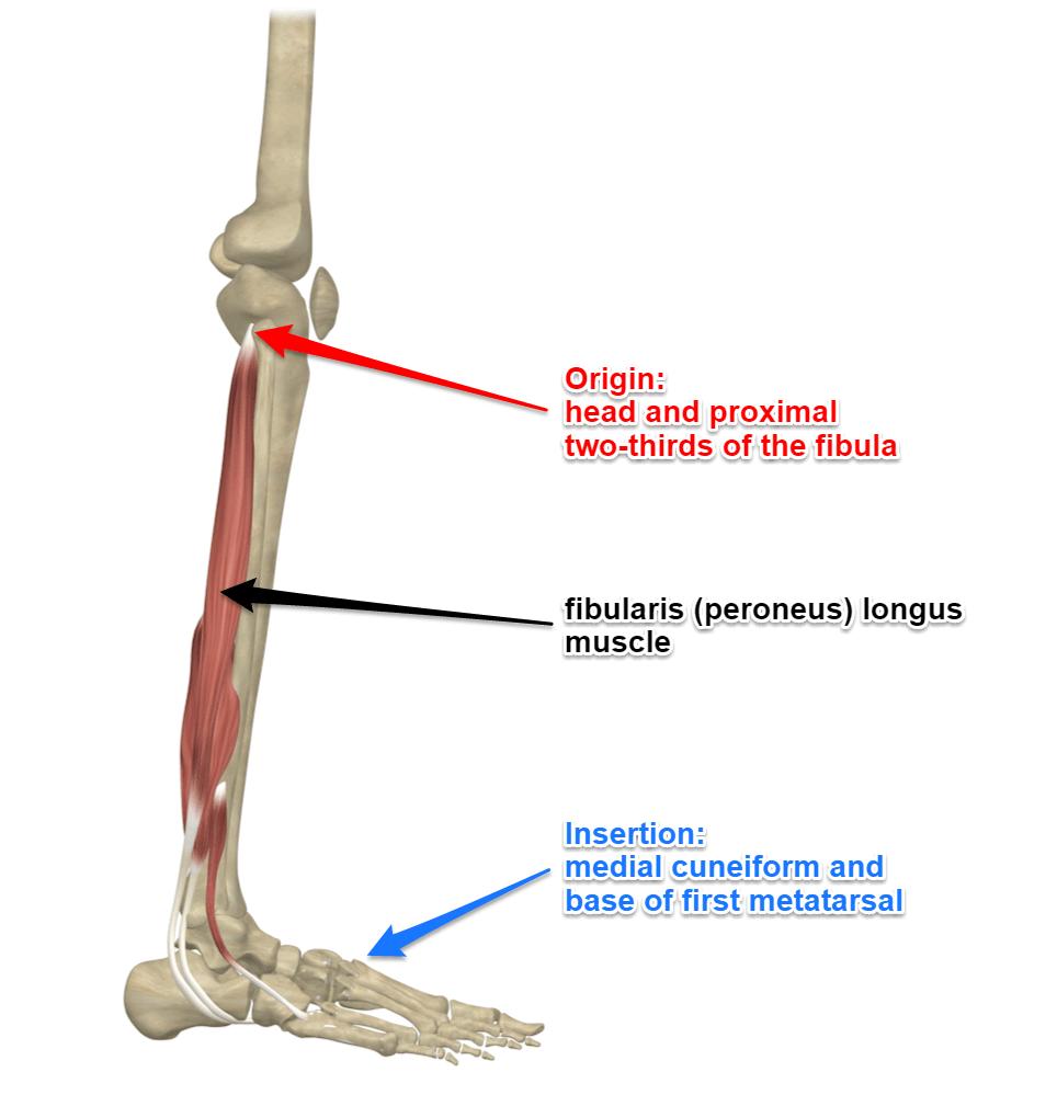 Fibularis Longus Muscle Peroneus Longus Muscle Yoganatomy