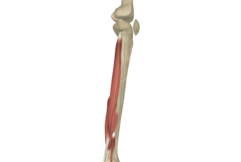 The Fibularis Longus Muscle (Peroneus Longus Muscle)