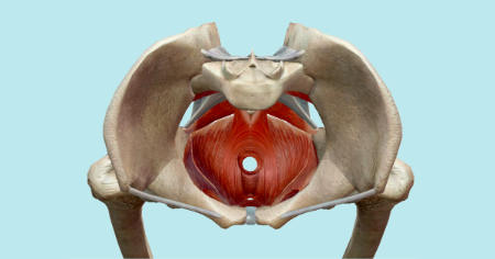 "Featured image for ""The Pubococcygeal Muscle (PC Muscle)"""