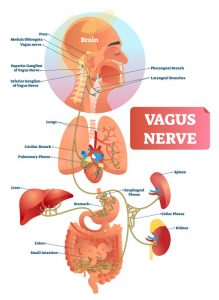 The Vagus Nerve