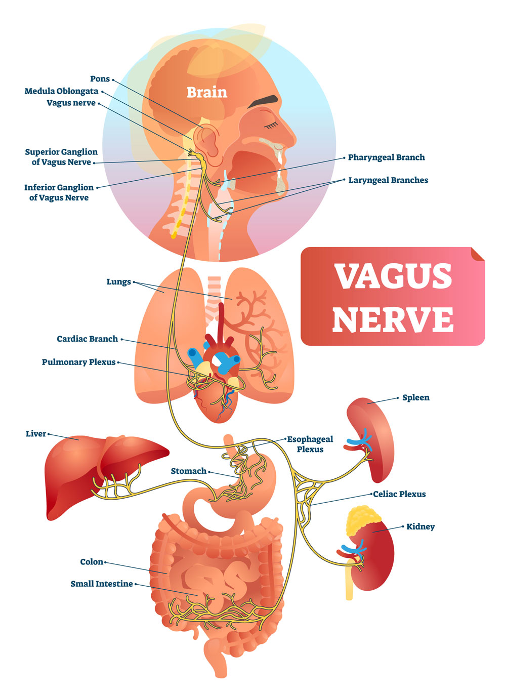 Yoga Works Via The Vagus Nerve