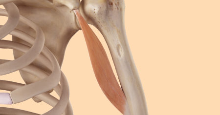 "Featured image for ""Coracobrachialis Muscle"""